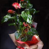 pianta di anturium rosso